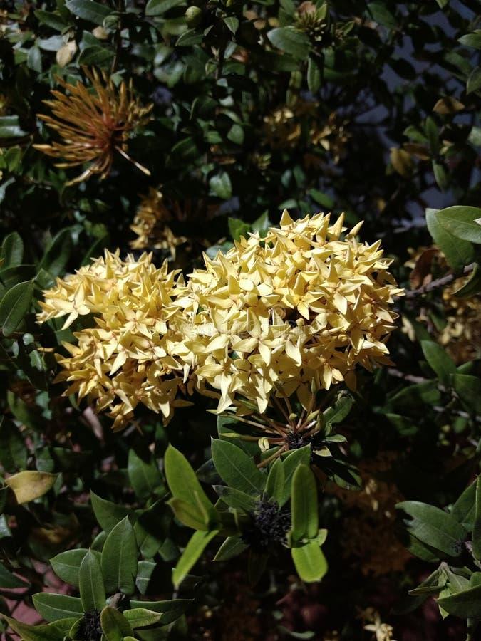 黄色loxra coccinea花室外植物画象明亮的美丽的自然庭院花罗斯 免版税库存照片