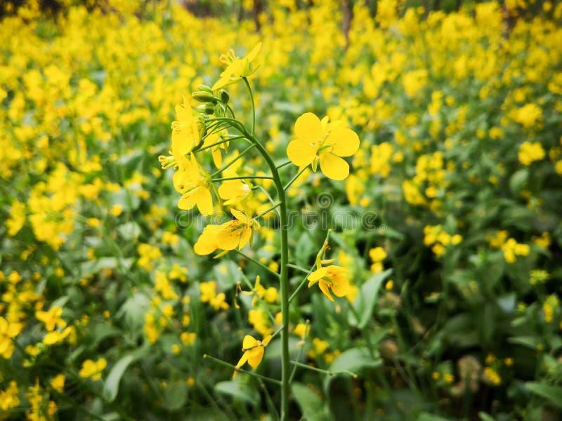 黄色rapseed花背景 图库摄影
