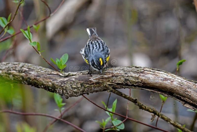 黄色rumped鸣鸟在密集的如毛刷栖所 免版税库存图片