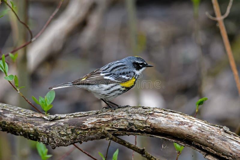 黄色rumped鸣鸟在密集的如毛刷栖所 库存照片