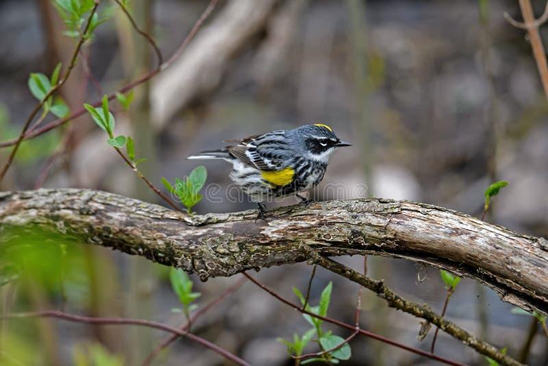 黄色rumped鸣鸟在密集的如毛刷栖所 免版税图库摄影