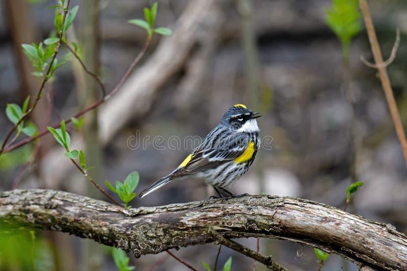 黄色rumped鸣鸟在密集的如毛刷栖所 图库摄影