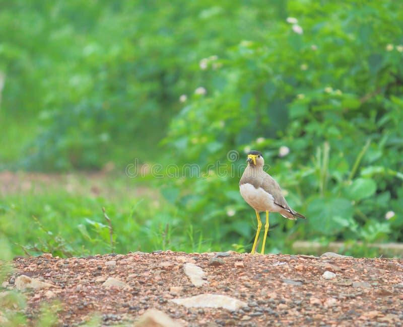 黄色wattled田凫鸟 图库摄影