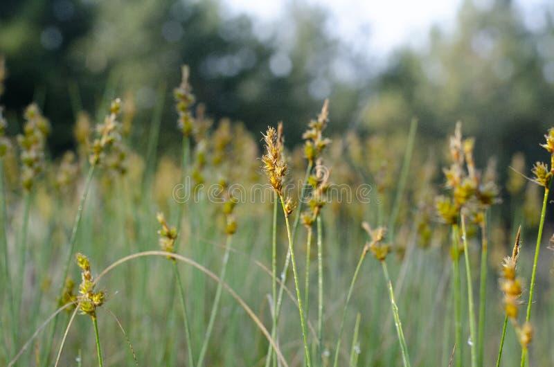 黄色Zubrovka花在与迷离的中心在边缘附近 免版税库存照片
