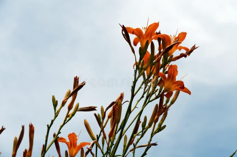 黄花菜橙色花反对天空蔚蓝的 免版税库存照片