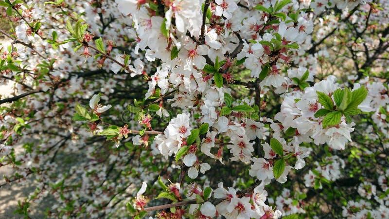 黄蜂从春天樱桃花得到花蜜 免版税库存图片