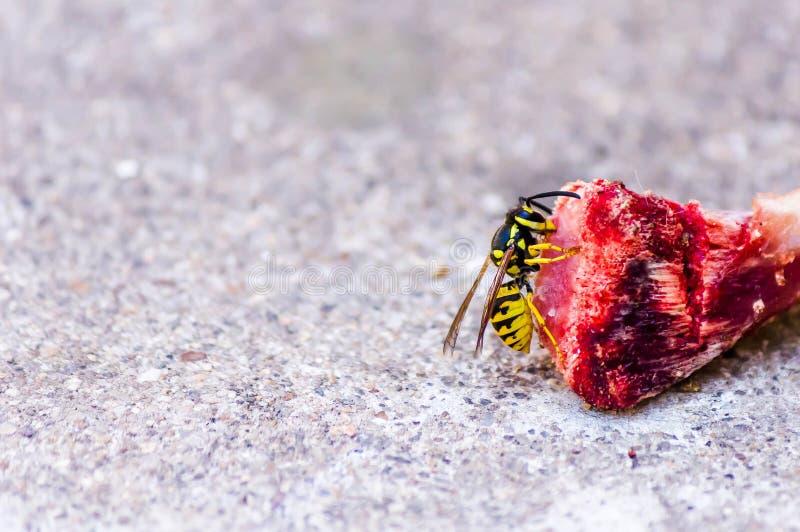 黄蜂吃鱼肉 E 免版税库存图片