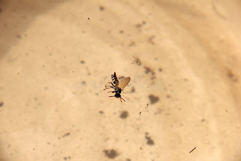 黄蜂在水中 r 免版税图库摄影
