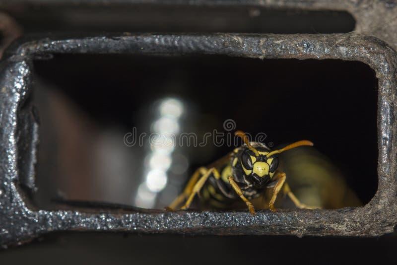 黄蜂宏观细节在铁管道的 免版税图库摄影