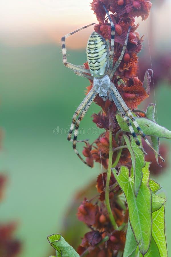 黄蜂蜘蛛在他的网的Argiope bruennichi 镶边黄色黑女性黄蜂蜘蛛 库存照片