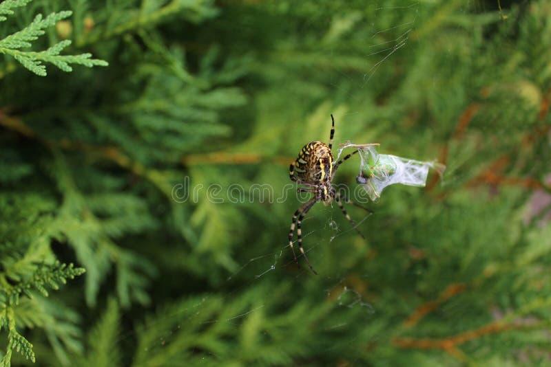 黄蜂蜘蛛在庭院里 库存照片