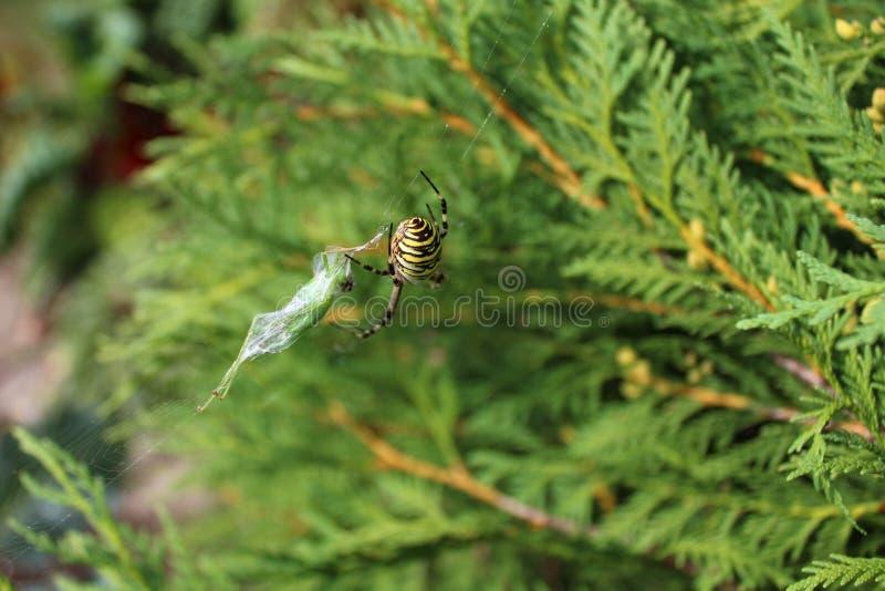 黄蜂蜘蛛在庭院里 免版税库存图片