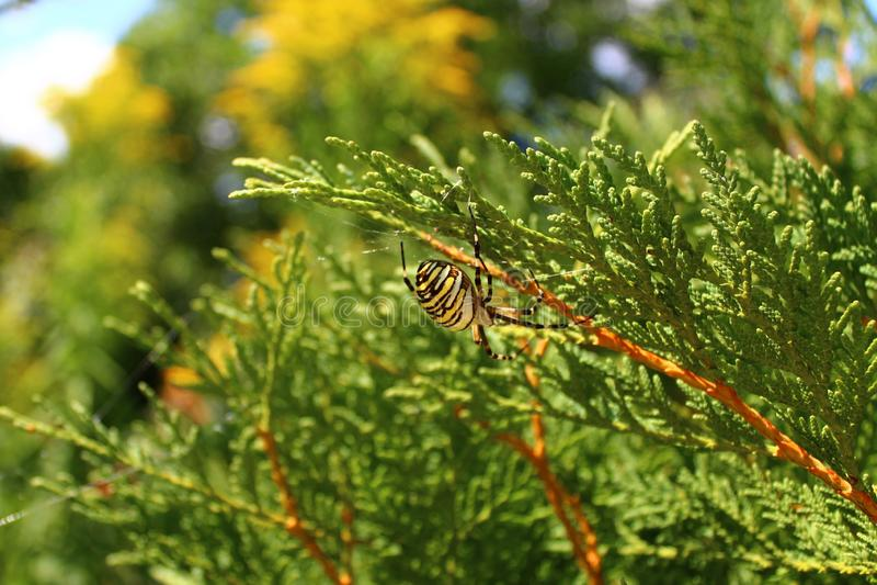 黄蜂蜘蛛在庭院里 免版税图库摄影