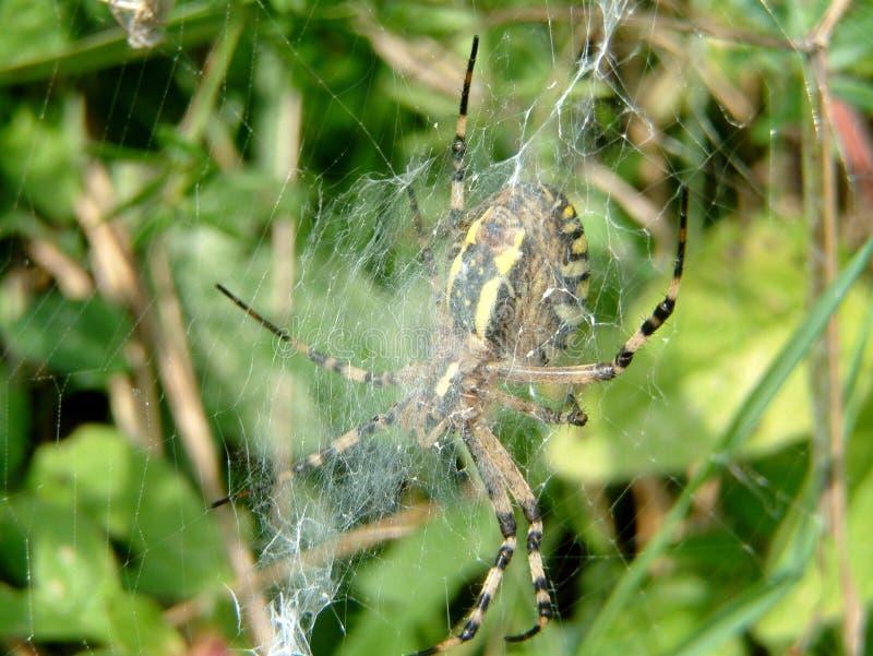 黄蜂蜘蛛在黄蜂的庭院筑巢 免版税图库摄影