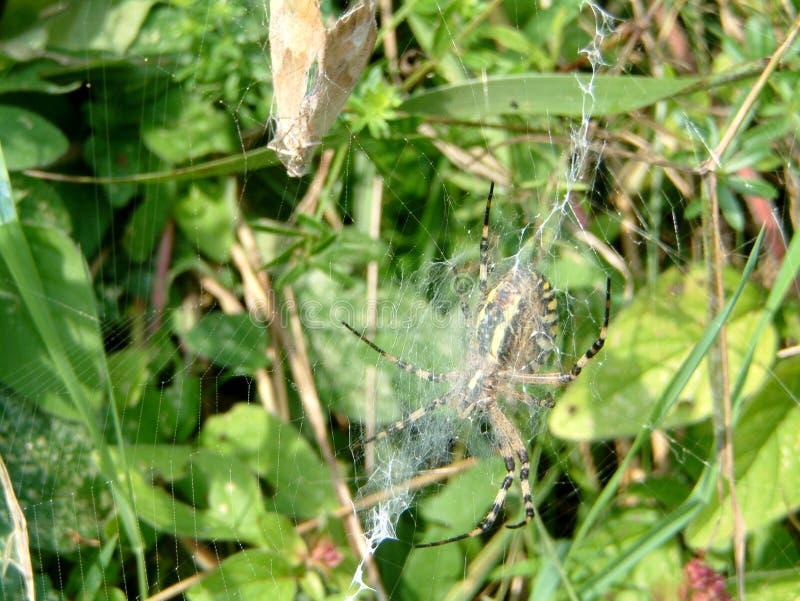 黄蜂蜘蛛在黄蜂的庭院筑巢 免版税库存照片