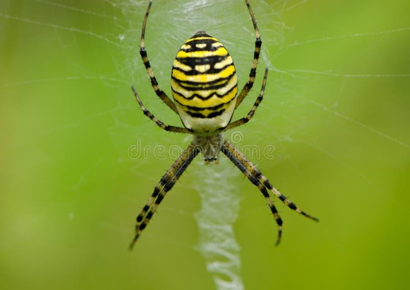 黄蜂蜘蛛在spiderweb的Argiope bruennichi 免版税库存图片
