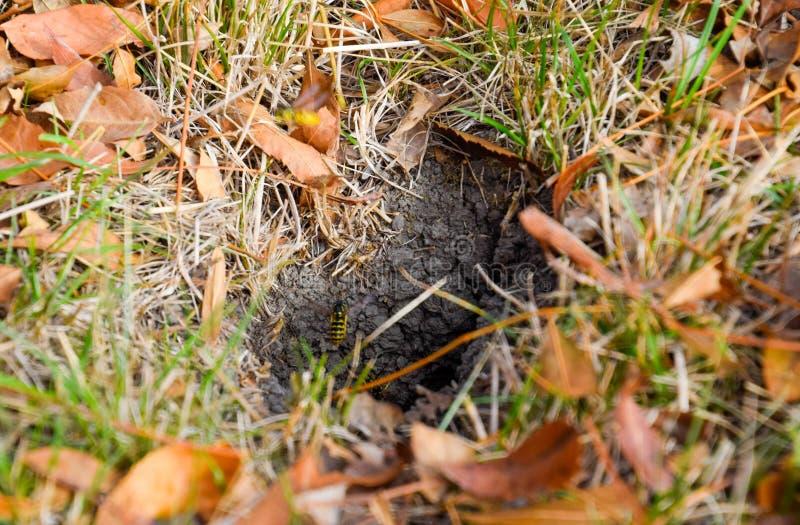 黄蜂飞行入他们的与白杨木巢地下的巢貂皮 免版税图库摄影