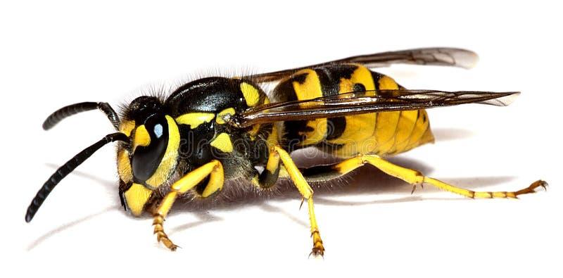 黄蜂 免版税库存照片