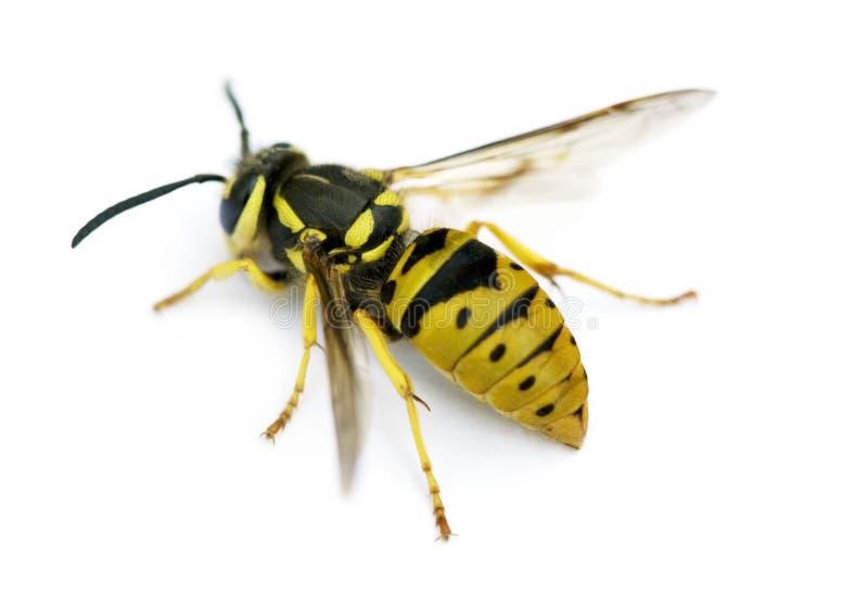 黄蜂yellowjacket 图库摄影