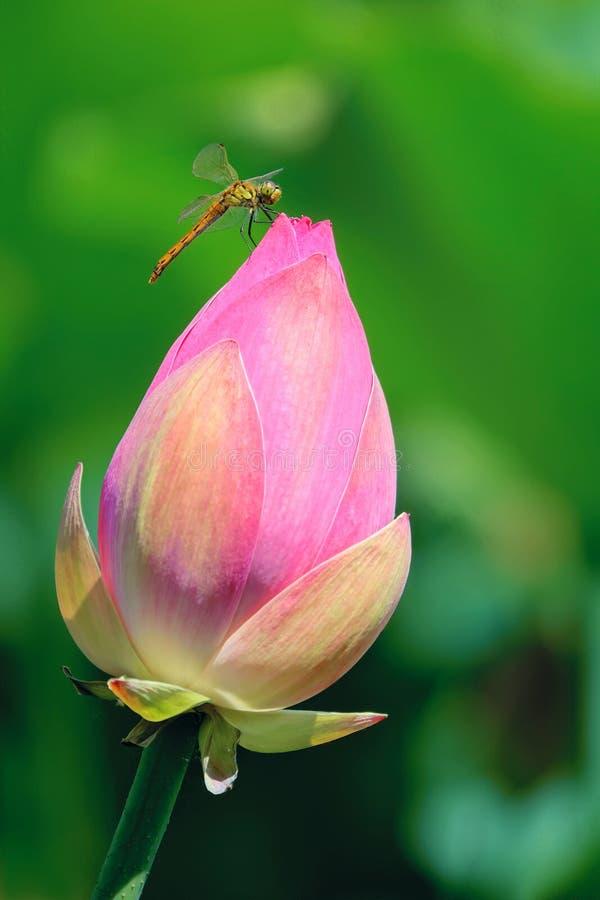 黄蜻蜓与荷花 免版税库存照片
