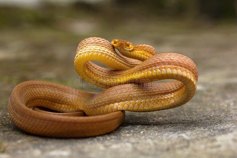 黄褐色的猫蛇, Boiga ochracea, Colubridae, Gumti,特里普拉邦,印度 库存图片