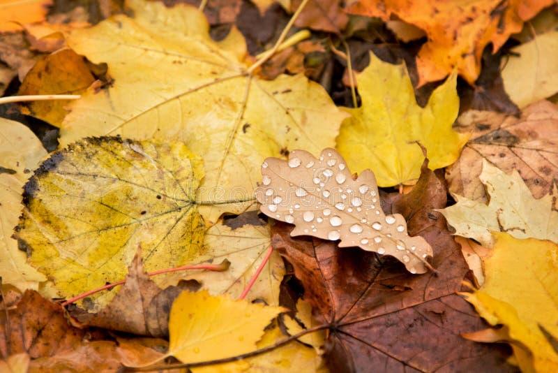 黄褐色秋叶和雨珠在橡木生叶 库存图片