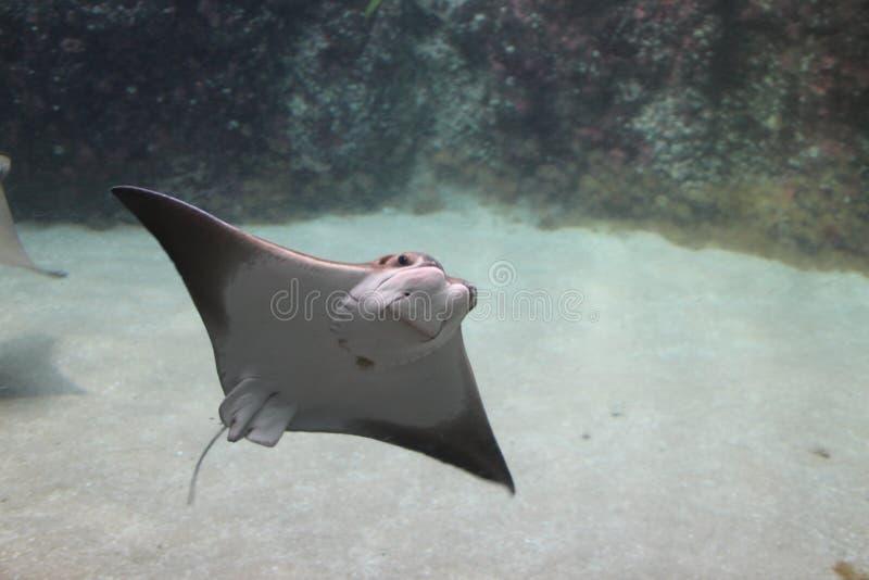 黄貂鱼在鹿特丹动物园里 免版税库存图片