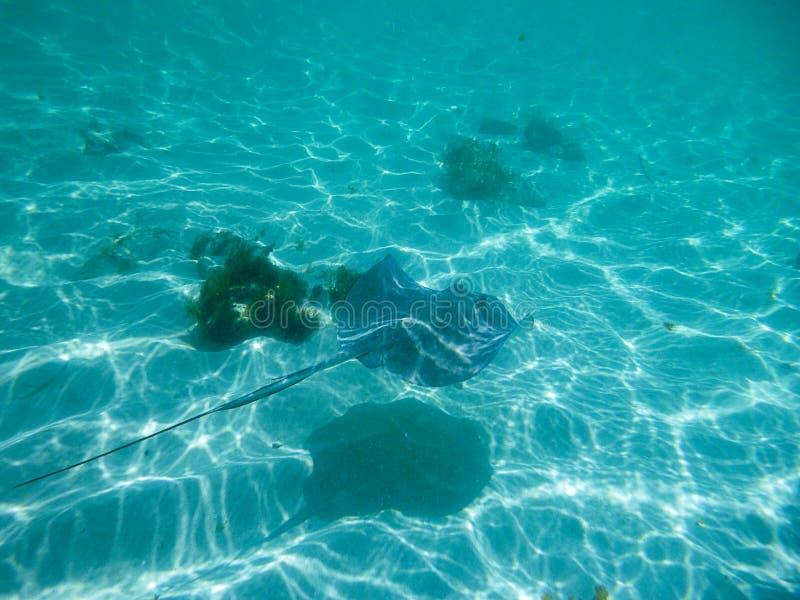 黄貂鱼游泳在太阳起斑纹的海洋 图库摄影