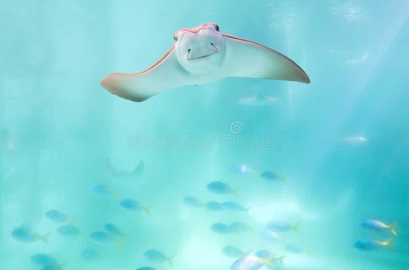 黄貂鱼 免版税图库摄影