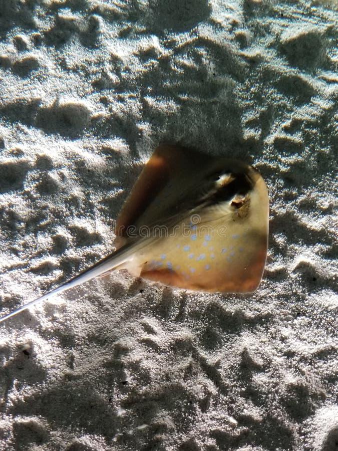黄貂鱼 免版税库存图片