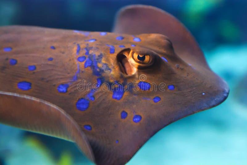 黄貂鱼 免版税库存照片