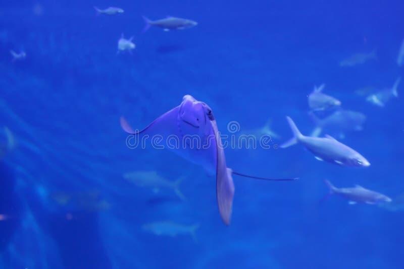 黄貂鱼 库存照片