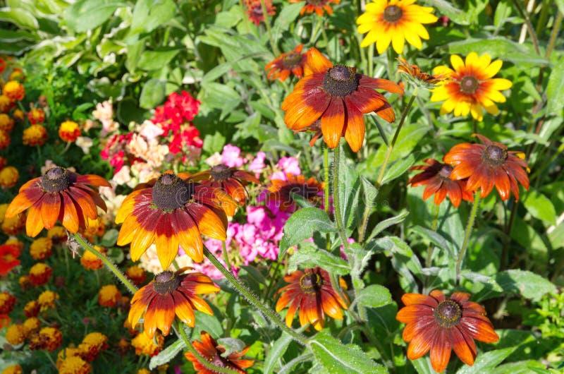 黄金菊花在夏天庭院里 库存照片