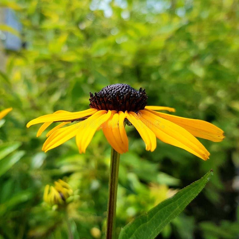 黄金菊fulgida花细节 橙色coneflower瓣和开花  库存照片