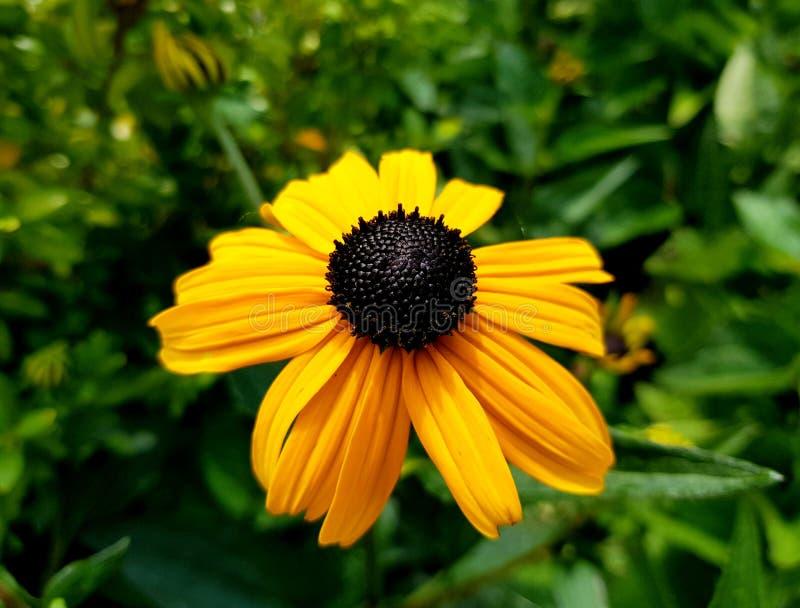 黄金菊fulgida花细节 橙色coneflower瓣和开花  库存图片