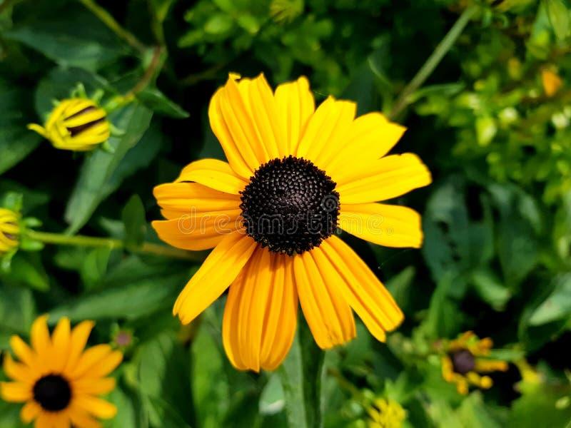 黄金菊fulgida花细节 橙色coneflower瓣和开花  免版税库存照片