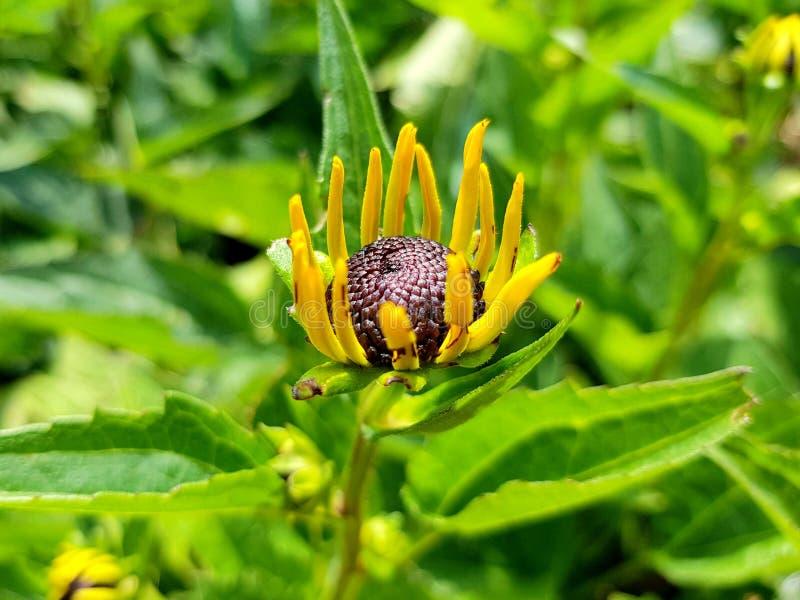 黄金菊fulgida花细节 橙色coneflower瓣和开花  免版税图库摄影