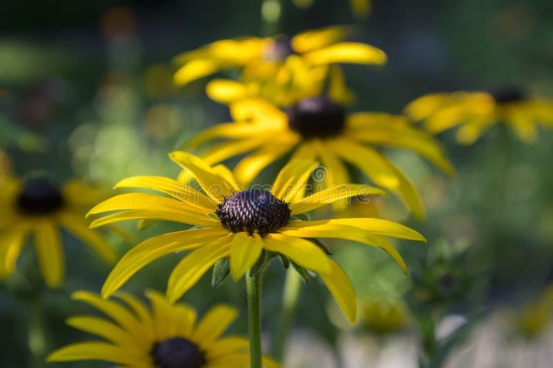 黄金菊hirta与黑棕色中心的黄色花在绽放,黑眼睛的苏珊在庭院里 免版税库存照片