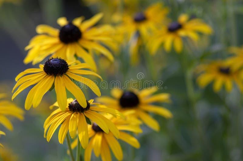 黄金菊hirta与黑棕色中心的黄色花在绽放,黑眼睛的苏珊在庭院里 免版税库存图片