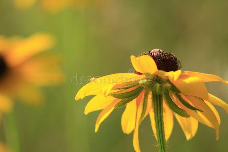 黄金菊hirta花,黑眼睛的苏珊开花在庭院里在晴朗的夏日 库存图片