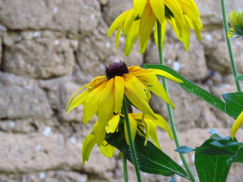 黄金菊hirta 黑眼睛的苏珊开花 在被弄脏的背景的黄色夏天庭院花 免版税图库摄影