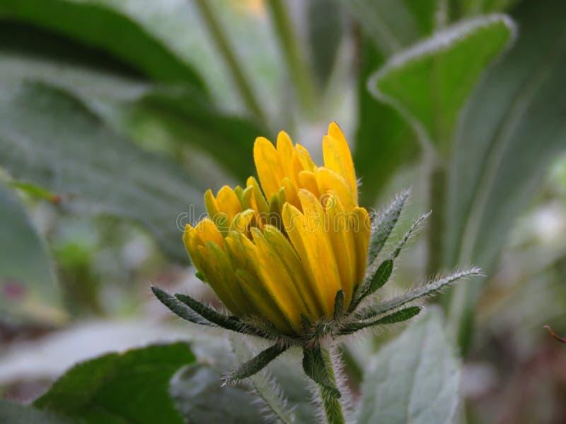 黄金菊hirta 黑眼睛的苏珊芽 在被弄脏的背景的黄色夏天庭院花 图库摄影