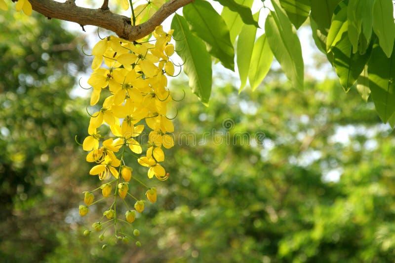 黄金雨树 免版税库存照片
