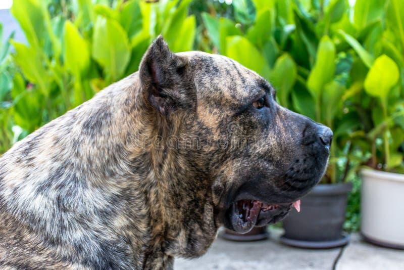 黄雀色大型猛犬 免版税库存图片
