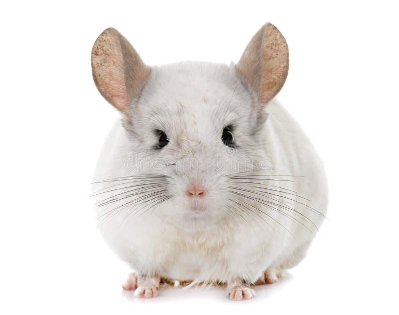 黄鼠在手上 库存图片