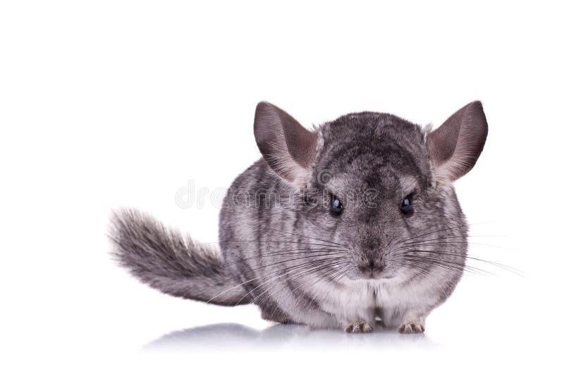 黄鼠年轻人 免版税库存照片