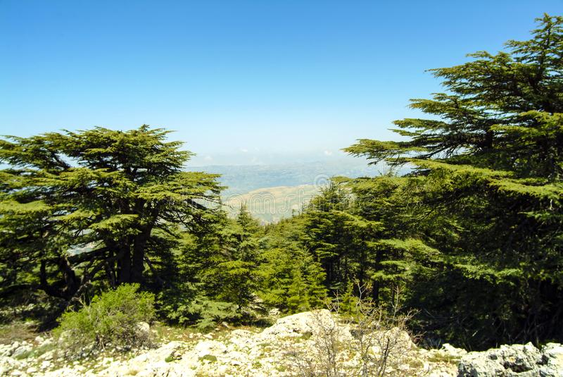 黎巴嫩雪松Shouf生物圈储备山的山顶土坎的,黎巴嫩 库存图片