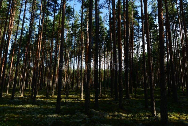 黎明在杉木森林里太阳滑翔的第一光芒在青苔的在树之间 库存图片