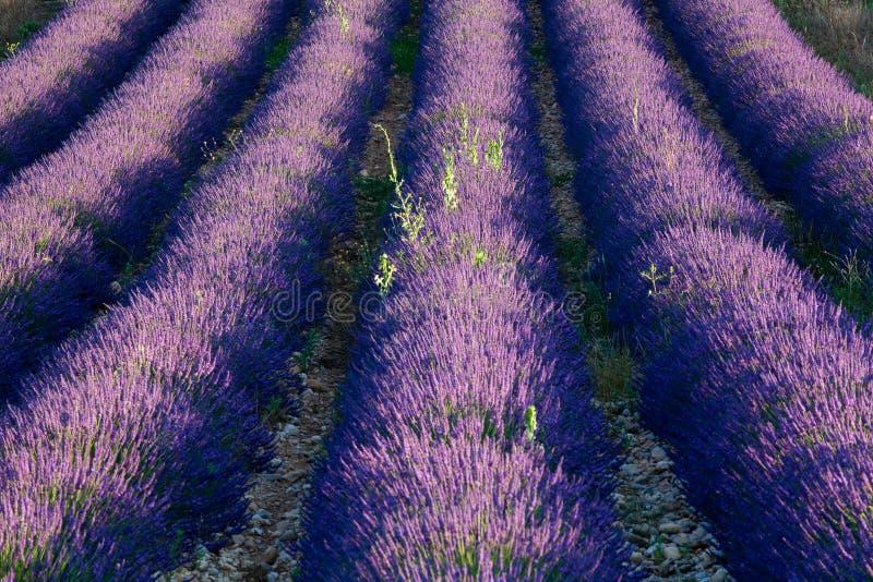 黎明淡紫色 免版税库存照片