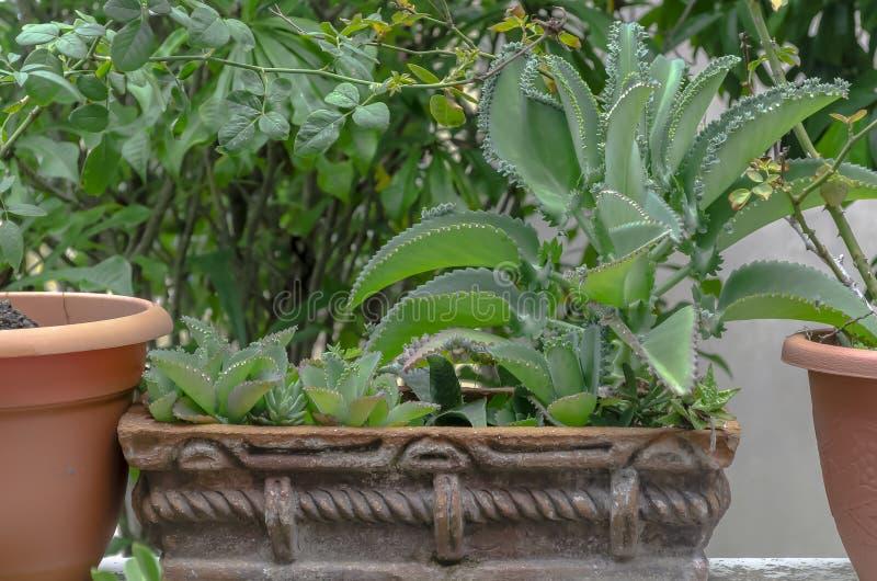 黏土瓶子的坏母亲植物 库存图片